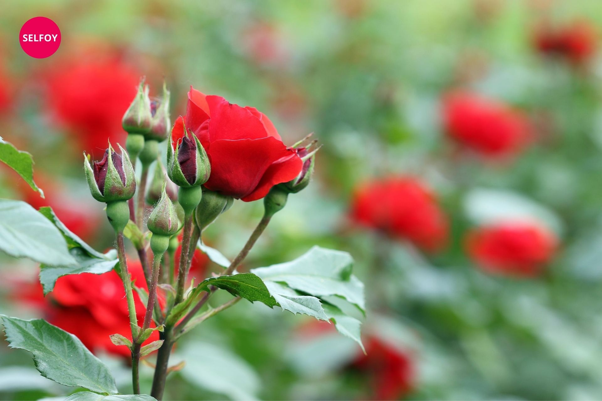 Red rose in the rose garden